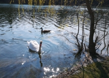 Swan and duck on a sunlit pond